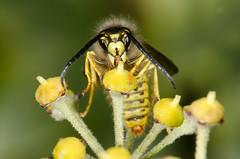 Wasp feeding on Ivy. (jgsnow) Tags: macro wasp feeding ngc npc