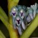 Cleisocentron gokusingii – Lisa Humphreys