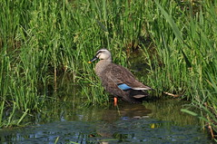 DSC_0038 (popopo_2004) Tags: bird osaka  hirakata   d5000 20130514