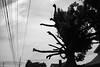 tree and power lines (Nashville Street Photography) Tags: bw bnw streetphotographer streetphotography ricohgrd ricohgrdigital nashville tennessee tn nashvilletn nashvillephotographer tnphotographer bwstreetphotography bnwstreetphotography