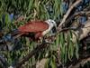 Brahminy Kite (Haliastur indus) (Arturo Nahum) Tags: aves australia birdwatcher bird birds pajaros wildlife wild nature animal brahminykite haliasturindus