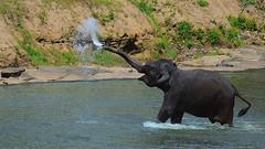 Cheers 2017 ! (Dunstan Fernando) Tags: elephant srilankanelephant dunstan water nature playingwithwater playtime playing nikkor nikon srilanka pinnawala 2017 newyear2017 cheers