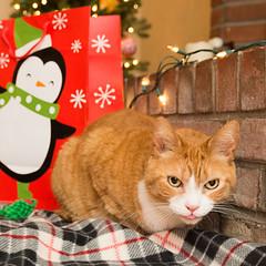 Pfft (tehchix0r) Tags: cat cats kitty kitties cute cutecat cutekitty christmas holiday tabby christmascat holidaycat