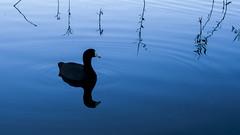Horns (José Luis Borbolla) Tags: nature animal duck water blue light reflex felections black mirror animals