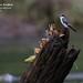 Mangrove Swallow, Tachycineta albilinea