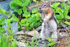 DSC_0661 (rachidH) Tags: squirrel écureuil rodents goldenmantledgroundsquirrel spermophiluslateralis callospermophiluslateralis spermophileàmanteaudoré écureuilterrestreàmanteaudoré spermophileàmanterayée logan pass loganpass westglaciernationalpark montana rockymountains mt rachidh nature