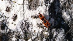 Bodobács szerelem (jetiahegyen) Tags: rovar túra túrázás kirándulás tour hiking pilis insect