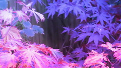 IMG_0263 (starst0rm*<(*?*)>*) Tags: acers trees china