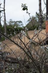 IMG_7865 (armadil) Tags: plum plumtree plumtrees flower flowers plumflowers