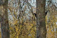 Pic noir (JeanJoachim) Tags: picnoir dryocopusmartius blackwoodpecker oiseau bird pentaxk5iis piciformes picidae vogel aves uccello fågel fugl pássaro バード lintu птица ptak smcpentaxda300mmf4edifsdm schwarzspecht