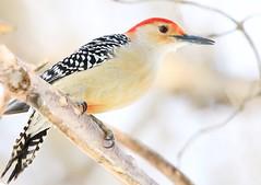 red-bellied woodpecker  male at Lake Meyer Park IA 854A5031 (lreis_naturalist) Tags: redbellied woodpecker male lake meyer park winneshiek county iowa larry reis