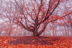 Red (patkelley3) Tags: red tree fall autumn fog