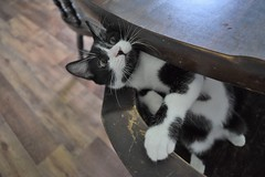 Hank II (pilot.henry) Tags: cat table climb athletic journey trek counter animal pet cute adorable paw fuzzy whiskers feline