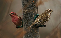 Purple Finch - Dinner for Two (SteveJnerChicago) Tags: purplefinch bird finch nature wildlife illinois