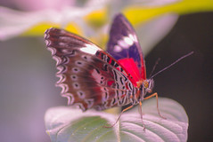 Butterflies III (Josué Godoy) Tags: butterfly mariposa papillon nature naturaleza animal insecte insect insecto australia wildlife colores colors couleurs