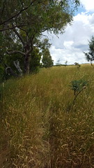 Cow tracks through the long grass (ajft) Tags: aus australia geo:lat=3487694444 geo:lon=14906361111 geo:zip=2582 geotagged greenfields newsouthwales yass
