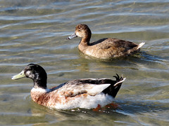 Redhead & Mallard (South Padre Island BNC) (stinkenroboter) Tags: southpadreislandbirdingandnaturecenter texas redhead anasplatyrhynchos mallard duck aythyaamericana