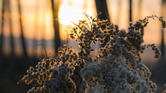At the end of a winter day (andbog) Tags: sony alpha ilce a6000 sonya6000 emount mirrorless csc sonya oss sel sonyα sonyalpha sony⍺6000 sonyilce6000 sonyalpha6000 ⍺6000 ilce6000 italia italy it nature natura apsc piedmont piemonte canavese to grass erba glow 55210mm sel55210 drygrass backlight field campo sunset sunsetlight tramonto trees alberi winter inverno widescreen 169 16x9