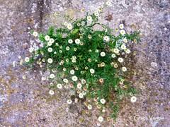 the miracle (✿ Graça Vargas ✿) Tags: graçavargas ©2017graçavargasallrightsreserved flower white wildflowers 15608120217