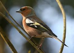 Chaffinch Charm (Ger Bosma) Tags: 2mg98336filtered vink fringillacoelebs chaffinch chaffie buchfink pinzónvulgar pinsondesarbres fringuello зяблик ziębazwyczajna male bird closeup tree