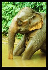 Elephant bath Thailand edit (Frances A Spencer) Tags: elephant thailand trek jungle bathing river stubborn sad wet mud clean bath wash tusks
