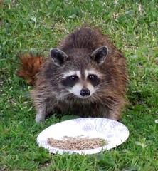 birdseed seed raccoon bandit mcclure counselman