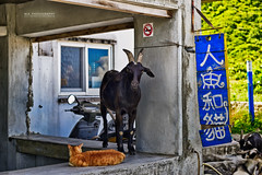 (M.K. Design) Tags: ocean travel sea nature cat funny taiwan goat pacificocean     taitung lanyu     2015  orchidisland