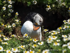 Puffins on Skomer Island 7th July 2015 (47) (Gareth Lovering Photography 3,000,594 views.) Tags: wales lens island olympus pro puffins pembrokeshire f28 omd lovering em1 skomer 40150mm