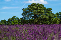 Mayfield lavender movement (AlexR!) Tags: movement lavender 8 filter nd mayfield 3stop