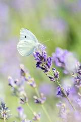 Cabbage White in a Lavender Haze (judymtomlinson) Tags: flower floral field animal butterfly garden insect stem purple bokeh wildlife lavender patch scent cabbagewhite