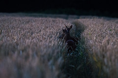Deer at dusk in a corn field (Richard Holding) Tags: field corn deer campagne crepuscule champ chevreuil bl biche deuxsvres