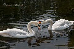 I'll take care of you (Mire74) Tags: lake london canon lago swan stjamespark gb londra regnounito inghilterra cigno canonefs1585mm canon70d photoshopcc lightroomcc