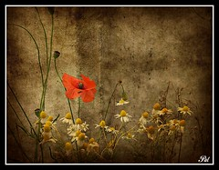 Dreams (patrick.verstappen) Tags: summer flower texture photo google nikon flickr belgium image pat sigma poppies juli camille textured facebook picassa twitter gingelom ipernity d5100 pinterest ipiccy picmonkey