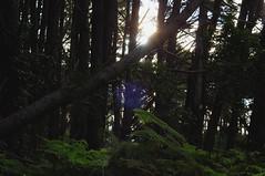 Pine forest sunlight (Ben Bicakci) Tags: trees light sun sunlight nature leaves pine forest walking outdoors photo bush woods nikon hiking australia adventure bark fallen recreation ferns dslr needles amateur beginner d90