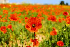 Papaveri (Yksel85) Tags: primavera nikon natura campagna rosso bari papaveri papavero carbonaradibari