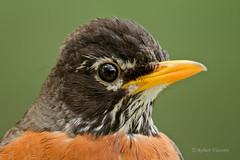 American Robin (sunnyf16) Tags: portrait bird robin animal closeup photography prime nikon flickr flight feathers perch prairie americanrobin songbird catchlight sunnyf16 lcfpd photocontesttnc11 robertvisconti closerlookwldlf followmeontwittercloserlookwldlf