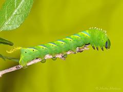 Verde neón (Maite Mojica) Tags: esfinge mariposa larva calavera insecto oruga atropos polilla lepidóptero acherontia heterocera artrópodo withania oroval