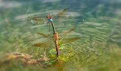 Dragonfly Breakdown-Service (Delbrücker) Tags: macro dragonfly makro libelle nikkor105mm nikond610
