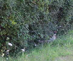 non si era accorto della mia presenza- Vaccarile di Ostra (walterino1962 / sempre nomadi) Tags: volatile fagiano arbusti siepe roghi cespuglio fiori rami foglie erba luci ombre riflessi vaccarilediostra ancona