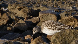 Ruff amongst the rocks, Martin Mere, Burscough, Lancashire