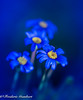 Happy New Year (frederic.gombert) Tags: flower flowers blue light sun sunlight color colors macro yellow nikon d810 plant garden winter december cold 1001nightsmagiccity