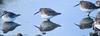 Frozen Morning 1 (Kurt Schneider) Tags: rocky point park shoreline beach ice winter snow dunlin bird birding shorebird port moody poco coquitlam bc british columbia canada pacific