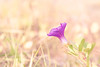 Morning glory of Saint Martin's Island (Anirban (Hold yr clicks a moment plz... I'm bz)) Tags: canon eos 40d 85mmf18 outdoor daylight morning gloory sea beach flower st martins island bokeh purple