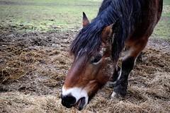 nomnomnomnom (jessie_with_the_camera) Tags: nomnomnom eating horse horses cute kawaii nature animals animalsinnature
