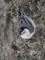 White-breasted Nuthatch MI January _E1U7190 Jan 2017 (www.sabrewingtours.com) Tags: winter snow michigan up upper peninsula whitebreasted nuthatch songbird bird feeder northern brian zwiebel sabrewing nature tours photo tour snt birding bz animal outdoor