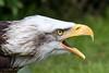 Alaskan Bald Eagle (Linda Martin Photography) Tags: female libertyraptorcentre wildlife nature birds haliaeetusleucocephalus hampshire alaskanbaldeagle canon5dmarklll uk raptors coth ngc