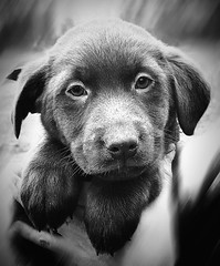Take me with you... (Steph.Charal.-W.) Tags: dog baby labrador chiot eyes face black white bw noir blanc nb samsunggs6