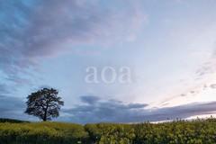 H501_0668 (bandashing) Tags: field landscape skyline sky dusk sunset tree rapeseed yellow plants mustardfield rapeseedfield farm sylhet manchester england bangladesh bandashing cheshire aoa socialdocumentary akhtarowaisahmed