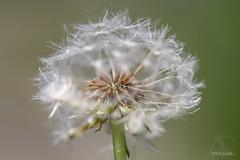 Pusteblume (blowball) (A.Dold) Tags: blowball pusteblume natur garten pflanzen blumen gräser landschaft makro