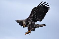 Bald Eagle, Immature (brian.bemmels) Tags: haliaeetus leucocephalus haliaeetusleucocephalus baldeagle immature bald eagle garrypoint richmond bc canada raptor